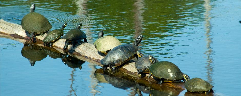 TurtlesLog-940x375